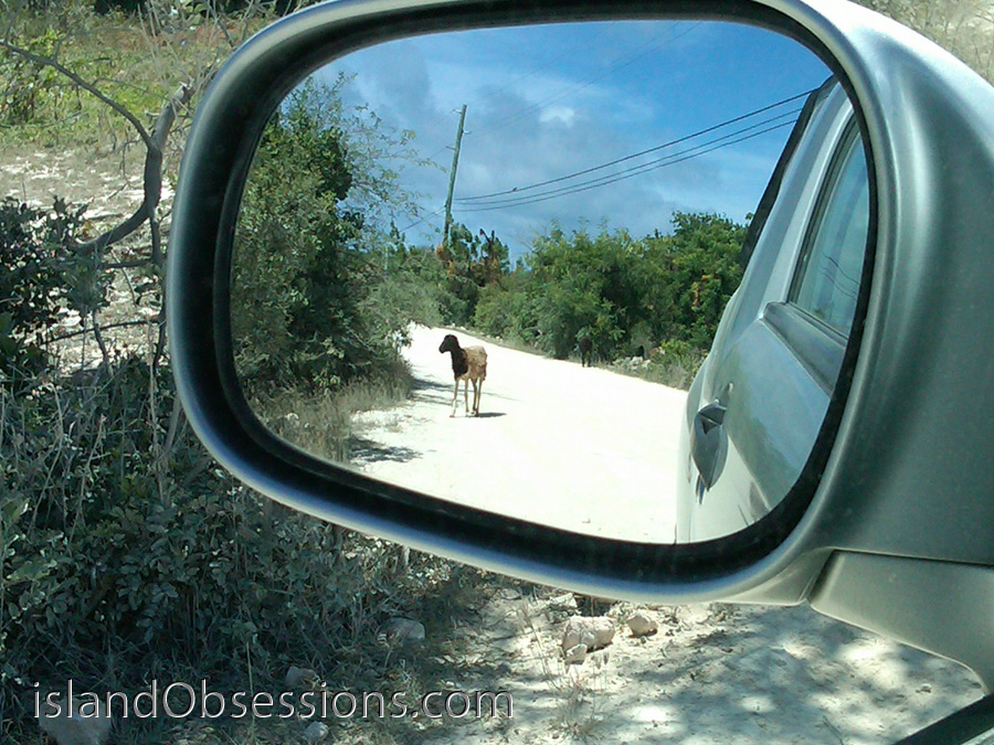 Yep, those are goats in my sideview mirror.